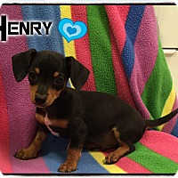 Adopt A Pet :: Henry - Washington, DC