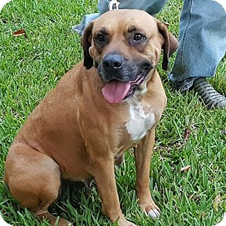 Boxer/Labrador Retriever Mix Dog for adoption in Homestead, Florida - Kiera