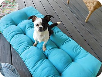 Boston Terrier/Chihuahua Mix Dog for adoption in West Deptford, New Jersey - DeeDee