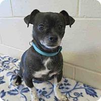 Adopt A Pet :: MICKEY - Springfield, MA
