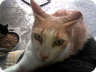 American Shorthair Cat for adoption in Medford, New York - Creamsicle