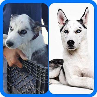 Siberian Husky Dog for adoption in Dana Point, California - Prince