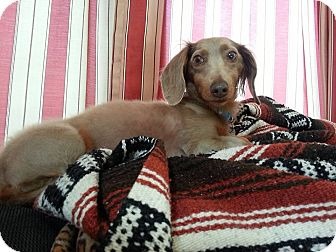 Dachshund Dog for adoption in Hartland, Michigan - Percy