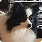 Adopt A Pet :: Pippa (in GA) 3yrs