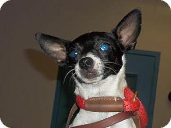 Rat Terrier Mix Dog for adoption in Gulfport, Mississippi - Miranda