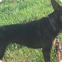 Miniature Pinscher/Terrier (Unknown Type, Small) Mix Dog for adoption in Steelville, Missouri - Brandi