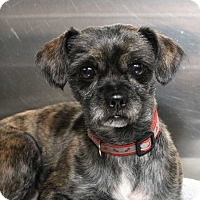 Terrier (Unknown Type, Small) Mix Dog for adoption in Fort Madison, Iowa - Teller