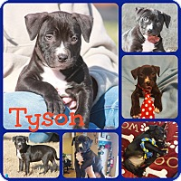 Adopt A Pet :: Tyson - Ft Worth, TX
