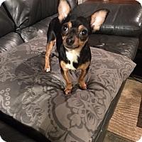 Adopt A Pet :: Daisy - Aurora, IL