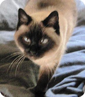 Siamese Cat for adoption in Richmond, California - Chloe