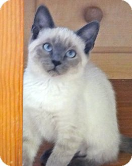 Siamese Kitten for adoption in Escondido, California - Kozar