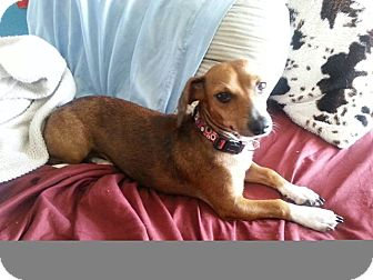Dachshund/Italian Greyhound Mix Dog for adoption in Pinellas Park, Florida - Bambi