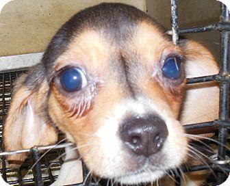 Beagle Puppy for adoption in MINNEAPOLIS, Kansas - Sage