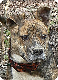 Boxer Mix Dog for adoption in Centerville, Tennessee - Glory