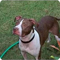 Adopt A Pet :: Boomer - Emory, TX