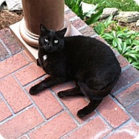 Domestic Shorthair Cat for adoption in Waxhaw, North Carolina - Stormy