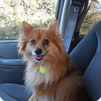 Adopt A Pet :: Tom the Pom - Shawnee Mission, KS