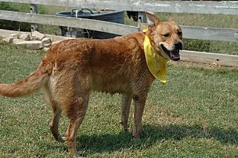 German Shepherd Dog/Labrador Retriever Mix Dog for adoption in McKinney, Texas - Neo