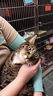 American Shorthair Cat for adoption in Lima, Ohio - Mittens