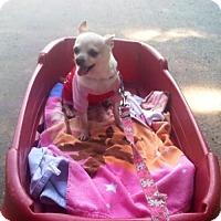 Adopt A Pet :: Tootsie - ADOPTION PENDING - Livonia, MI