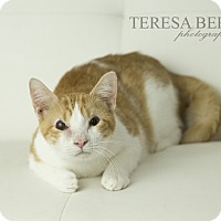 Domestic Shorthair Cat for adoption in McKinney, Texas - Seymour