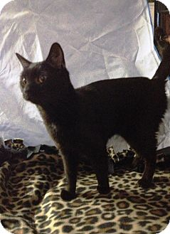 Bombay Cat for adoption in Salem, Ohio - Gretta