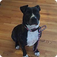 Adopt A Pet :: Luna in CT - Manchester, CT