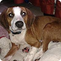 Adopt A Pet :: Shiloh - Tampa, FL