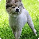 Adopt A Pet :: Cadillac aka Chief