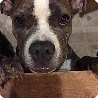 American Bulldog/American Staffordshire Terrier Mix Dog for adoption in Phoenix, Arizona - Mercy