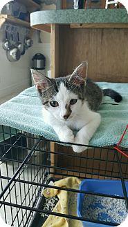 Domestic Shorthair Kitten for adoption in Stafford, Virginia - Timmy