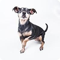 Adopt A Pet :: CoCo - Bonded Trio - Decatur, GA