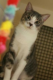 Domestic Shorthair Cat for adoption in Cumberland and Baltimore, Maryland - Marina