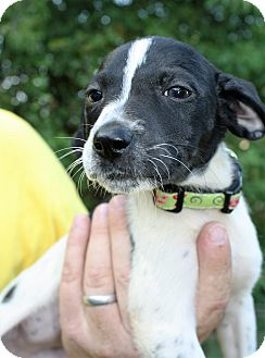 Labrador Retriever Mix Puppy for adoption in Hayes, Virginia - Roxy Girl 4