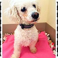 Adopt A Pet :: Milania - Beverly Hills, CA