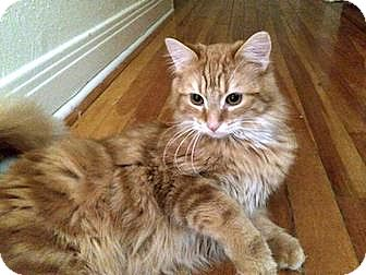 Domestic Longhair Cat for adoption in Plainville, Connecticut - Sully
