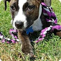 Adopt A Pet :: Fire - Houston, TX