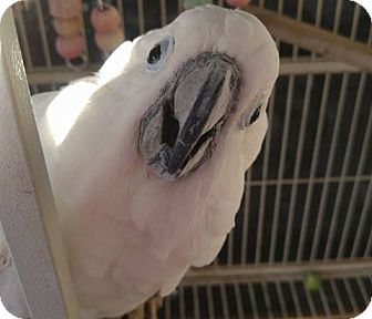 Cockatoo for adoption in Burleson, Texas - Dolly