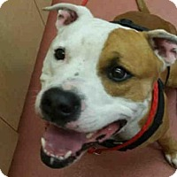 Pit Bull Terrier Dog for adoption in Missoula, Montana - WILLIE