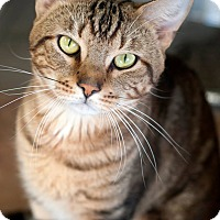 Adopt A Pet :: Tiger - Manahawkin, NJ