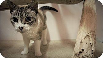 Domestic Shorthair Cat for adoption in Seattle, Washington - Koa