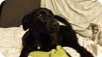 Labrador Retriever/Shepherd (Unknown Type) Mix Puppy for adoption in Olympia, Washington - Winston