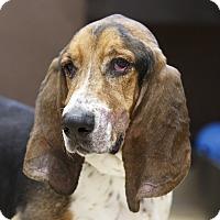Adopt A Pet :: Boris - Ile-Perrot, QC