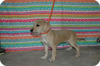 Dachshund/Terrier (Unknown Type, Small) Mix Puppy for adoption in san antonio, Texas - Lady