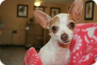 Chihuahua Dog for adoption in san antonio, Texas - Luna