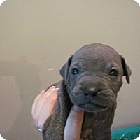 Adopt A Pet :: Douglas - Roaring Spring, PA