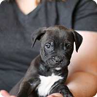 Adopt A Pet :: Jet - Reisterstown, MD