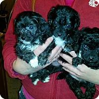 Adopt A Pet :: Emerson, Emmett, and Little E - Kirkland, WA