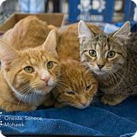 Adopt A Pet :: Oneida - Merrifield, VA