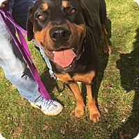 Adopt A Pet :: Rufus - Gilbert, AZ
